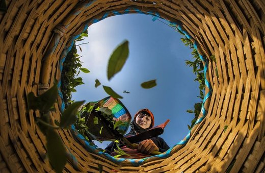 عکس | سبد چای در عکس روز نشنال جئوگرافیک