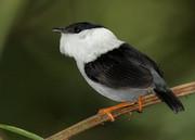 """پرنده """"رنگینک"""" سریعترین عضله را در میان مهرهداران دارد"""