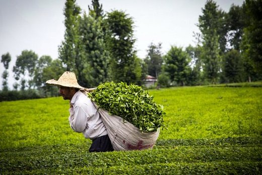 با همکاری بخش خصوصی و دولتی، صندوق توسعه چای تشکیل میشود