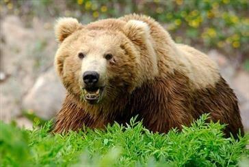کشته شدن یک خرس قهوهای درتصادف خودرو