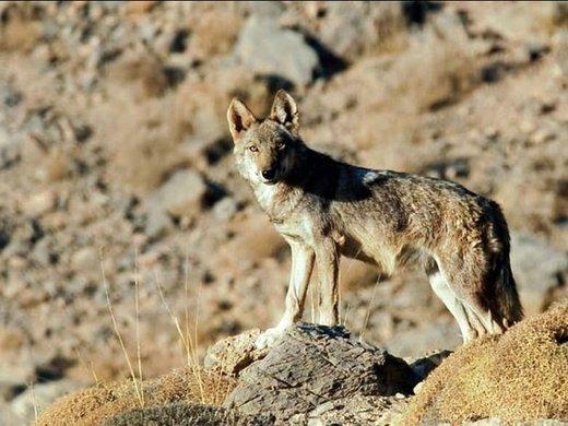 مرگ کودک میبدی با حمله گرگ