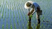 برنج جدید و پُرمحصول به شالیزارهای شمال میآید