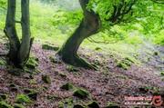 ارفع ده؛ سرزمین درختان بههم تنیده مازندران | اینجا همه چیز مرموز است + تصاویر