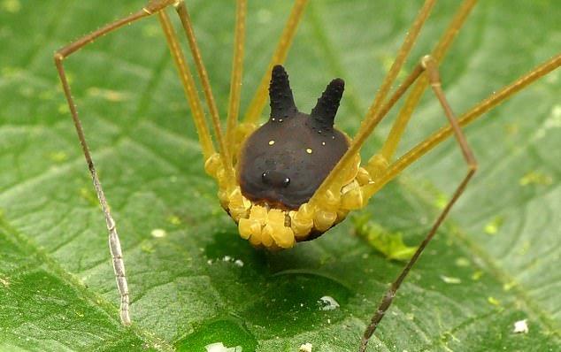 عجیبترین عنکبوت دنیا با سری شبیه سگ/ عکس