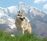 گرگاس، درندهای که به انسان حمله میکند/مظلومیت گرگها