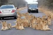 تصاویر | لم دادن خانواده شیرها وسط جاده گردشگری