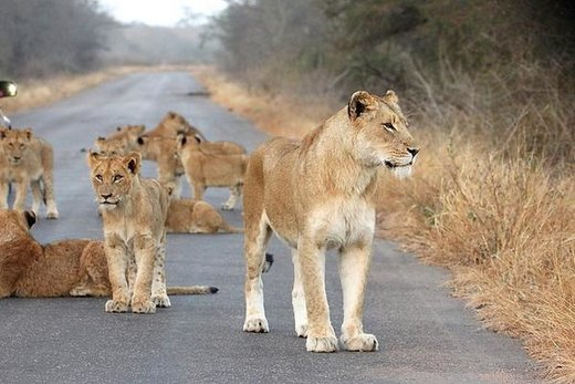 گله شیرها در جاده منتهی به پارک ملی کروگر آفریقای جنوبی