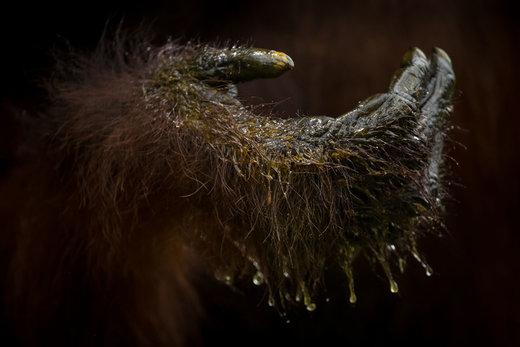 اورانگوتان وحشی در پارک ملی Tanjung Puting اندونزی