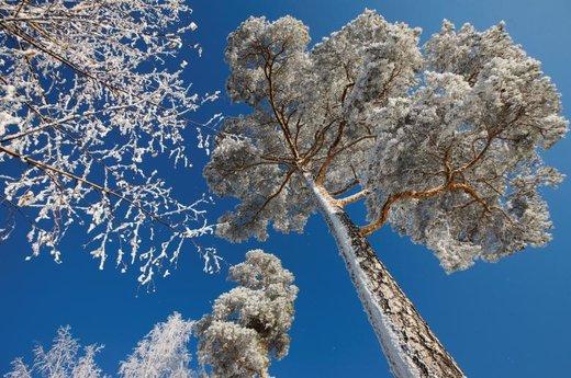 درختان پوشیده با برف در روسیه