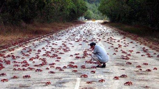 مهاجرت خرچنگ های سرخ در جزیره کریسمس استرالیا