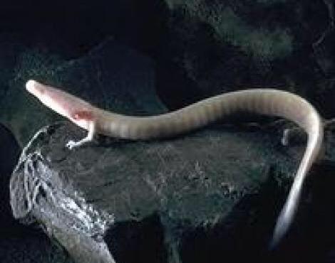 تنها جانور باقی مانده از دوران ماقبل تاریخ در ایران منقرض شد