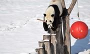 ببینید   بازیگوشی جالب و خندهدار پانداها در باغ وحش شمال غرب چین