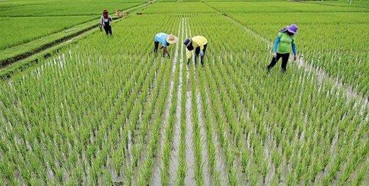 مصوبه هیات وزیران: کشت برنج خارج از گیلان و مازندران ممنوع است