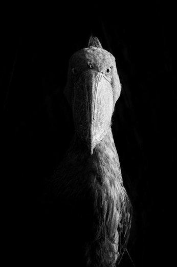 Sidelit Shoebill برنده مسابقه عکاسی طبیعت 2018 در بخش عکاسی «سیاه و سفید» شد
