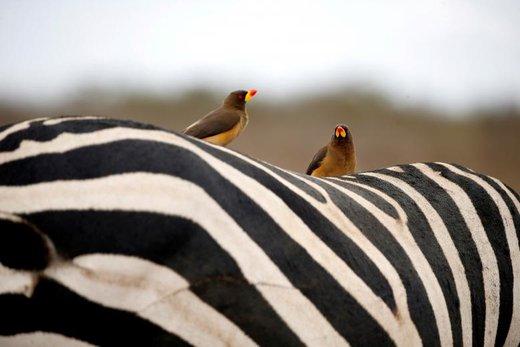 پرندگان بر پشت  یک گورخر در پارک ملی نایروبی کنیا نشستهاند