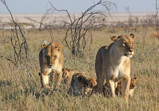 شیرهای وحشی جهان منقرض میشوند