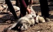 به بهانه روباهپوشی خانم بازیگر/ حیواناتی که زنده پوست کنده میشوند