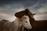 عکس | عاشقانههای ۲ اسب در عکس روز نشنال جئوگرافیک