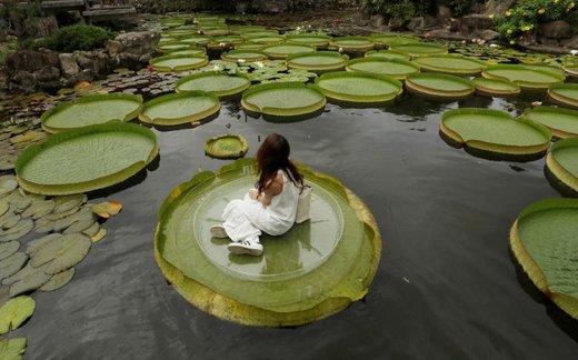 یک دختر بچه در مراسمی در شهر تایپه تایوان، برای عکاسی روی برگ نیلوفر آبی نشسته است