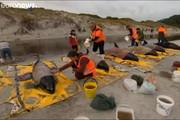 فیلم | تلاش برای نجات نهنگها از خودکشی