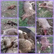 گرگها ۶۳ رأس گوسفند را در کوهدشت تلف کردند