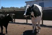 فیلم | گاو غولپیکر استرالیایی با ۱۹۴ سانتیمتر قد و ۱۴۰۰ کیلوگرم وزن