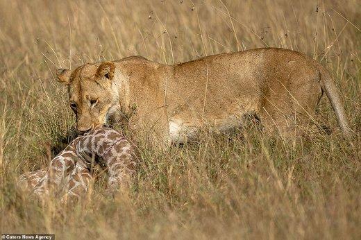 تلاش زرافهی مادر برای نجات فرزندش از چنگال شیر در کنیا