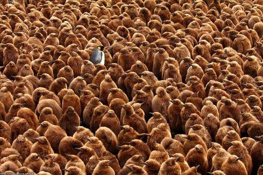 «پادشاه پنگوئن»؛ برنده مسابقه عکاسی جامعه زیستشناسی بریتانیا/ عکس