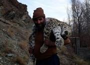 مرگ مشکوک پلنگ در مازندران/ عکس