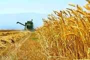 نرخ خرید تضمینی گندم دروم تعیین شد