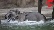 عزاداری در باغ وحش به خاطر مرگ بچه فیل محبوب/ عکس
