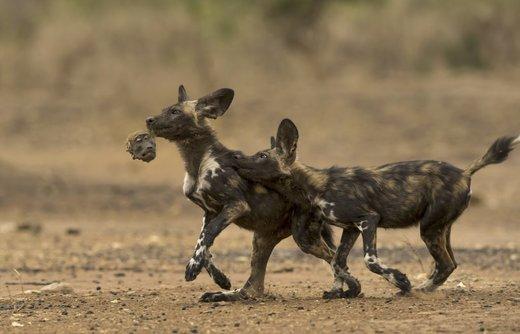 شکار بابون توسط سگ وحشی آفریقایی در زیمبابوه