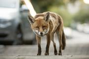 فیلم | مهاجرت روباهها به تهران به عشق فست فود!