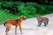 فیلم | حمله پلنگ به یک سگ و واکنش دیدنی هر دو!