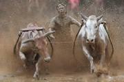 تصاویر   مراسم عجیب گاوبازی در اندونزی!