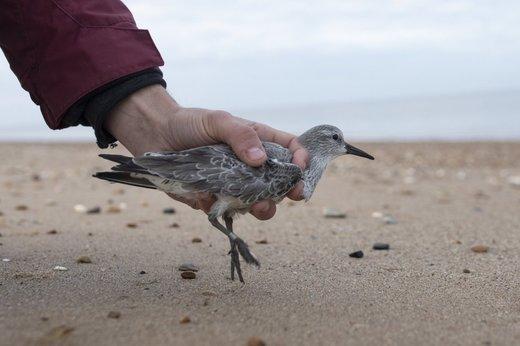 علامت گذاری پرندگان مهاجر در انگلیس