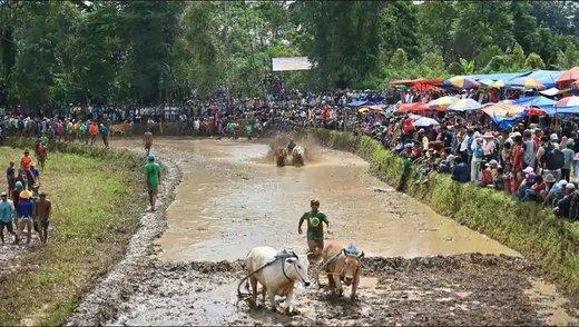 مسابقه گاو سواری در اندونزی