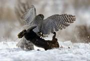 عکس   لحظه شکار خرگوش توسط پرنده شکاری