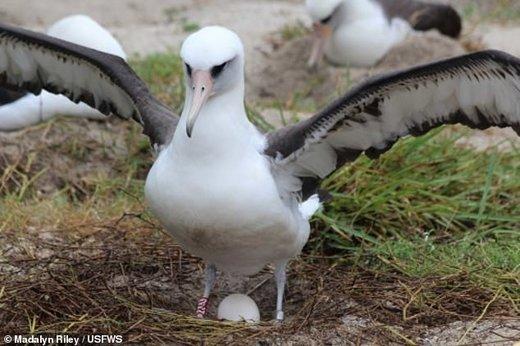 پرنده 68 ساله دوباره مادر میشود / عکس