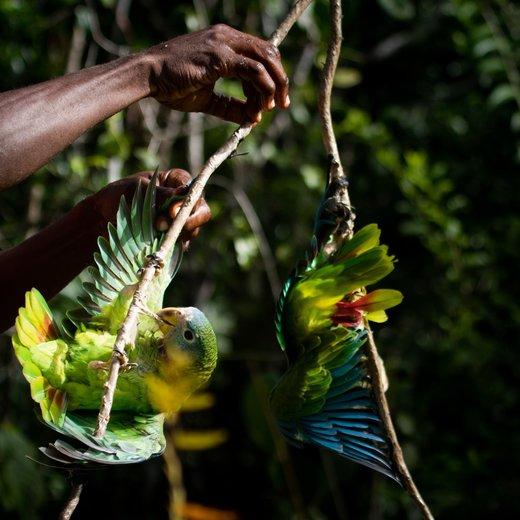 پر پرندگان،کارائیب