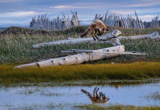 روباه در شکار، کانادا