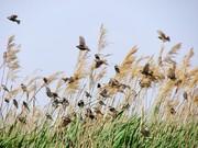 نیزار خور؛ ضیافت پرندگان مهاجر در کویر لوت