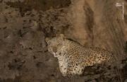 عکس | مشاهده پلنگ ایرانی در پارک ملی تندوره