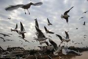 تصاویر | پرواز پرندههای ماهیخوار بر فراز کارون