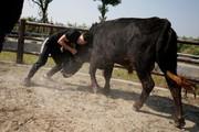 تصاویر | چینیها با گاو هم کشتی میگیرند!
