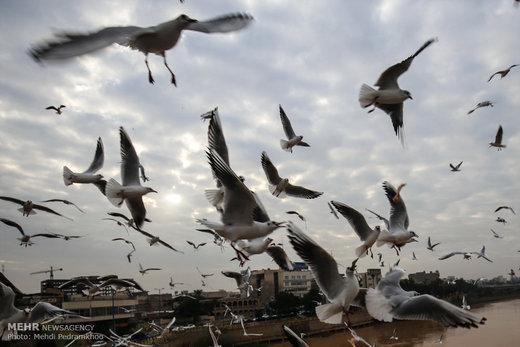 کارون میزبان پرندگان ماهی خوار