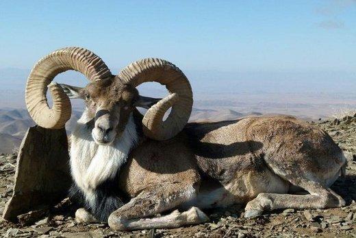 خراسانشمالی زیستگاه خالصترین نژاد قوچ «اوریال» در ایران