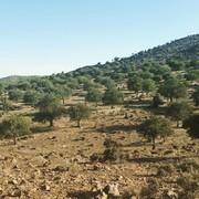 هجوم آفت تشی به ۲۰۰ هزار هکتار از جنگلهای استان کرمان