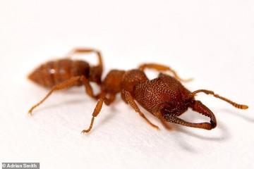 مورچه دراکولا، سریعترین حیوان روی زمین با سرعت ۳۲۱ کیلومتر/ عکس