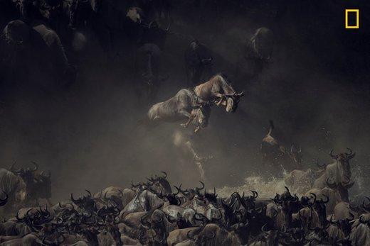 حیات وحش در رود مارا تانزانیا